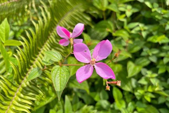 Pikake Rd, Pahoa, HI 96778 (MLS #654203) :: Aloha Kona Realty, Inc.