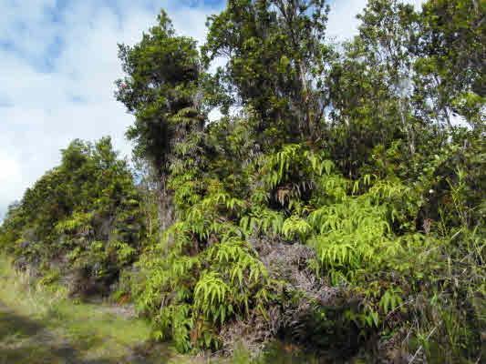 11-3084 Huakai, Volcano, HI 96785 (MLS #243635) :: Elite Pacific Properties