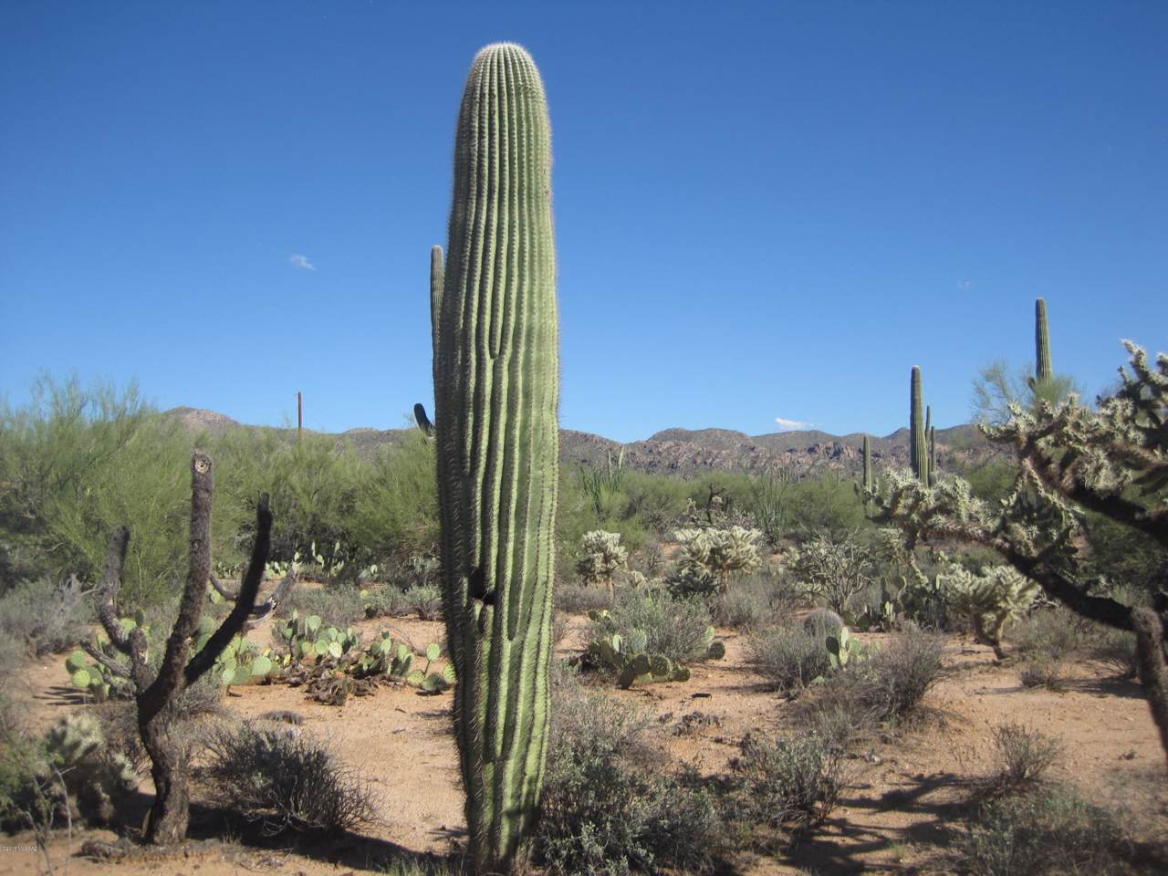 Crested Saguaro - Photo 1